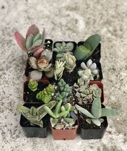 2 inch Collection Of 12 Fully Rooted Unique Rare Succulent Plants image 3