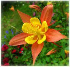 50 Orange Yellow Columbine Flower Perennial Seeds #STL17 - $15.17