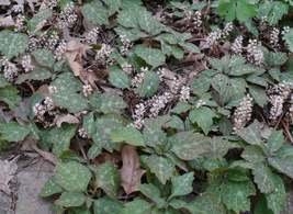 ALLEGHENY  SPURGE 10 roots ,(Pachysandra procumbens) image 3