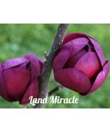 Rare Deep Purple Black Magnolia Yulan Tree Flower Tulip Tree Seeds, 10Se... - $3.99