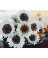 USA white monarch of the veldt daisy 100-1600 seeds - $6.85+