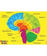 Human Body Foam Manipulatives Brain  - $5.99