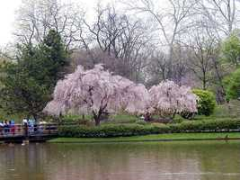 Weeping Higan Cherry, Prunus subhirtella pendula, 15 Tree Seeds (Fast, Showy) - $13.99