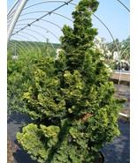 Trade Gallon Pot Slender Hinoki False Cypress Live Plant  - $69.99