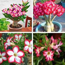 B736 ABEF 50Pcs/Bag Bonsai Adenium Obesum Seeds Desert Rose Perennial Fl... - $2.00
