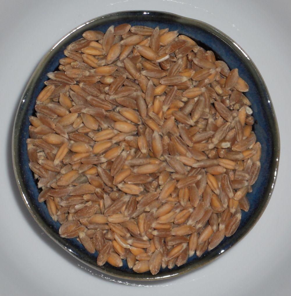 Organic Spelt (Asturia) Heirloom Non-GMO Grain Cereal Garden Crop 600 Seeds image 3