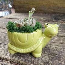 "Echeveria in Turtle Planter, Live Succulent, 5"" Green Ceramic Tortoise Pot image 4"