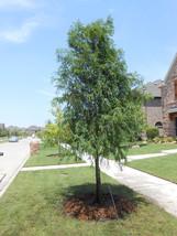 BALD CYPRESS TREE quart pot (Taxodiun distichun) image 1