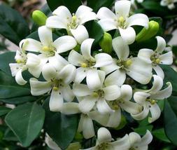 20pcs Very Wonderful Orange Jasmine Shrub with Fragrant White Flower Seeds IMA1 - $14.99