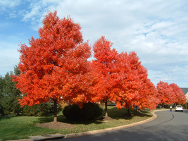 Rare Japanese Red Maple Tree Very Beautiful Japan Maple New Seeds 10 see... - $4.92