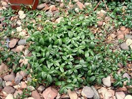 "Vinca Minor Periwinkle 4"" pot, graveyard vine ground cover 15-20 leads image 5"