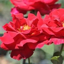 2 Gal Lincoln Red Big Live Bush Plant Floribunda Fine Roses Landscape Ga... - $135.99
