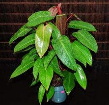 "RED EMERALD Rare Philodendron LARGE FULL MATURE PLANTS 5.5"" Hanging Bask... - $87.89"