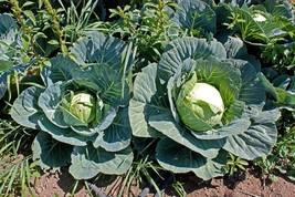 Cabbage Brunswick Non GMO Heirloom Garden Vegetable Seeds Sow No GMO® USA - $1.97+