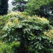 200 Aralia chinensis, Aralia Tree Seed, Chinese angelica tree Seeds - $9.95