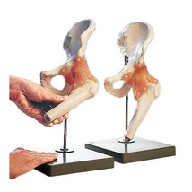 Functional Model of the Hip Joint - $325.25