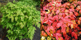 Dwarf Nandina Firepower (ornamental shrub) image 2