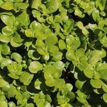 Green Purslane Seeds | Purslane Seeds | 10 seeds - $10.86