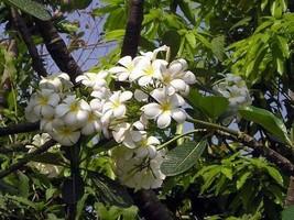 Dried organic plumeria flower tea,Frangipani, Frangipani, Herbal tea, Loose leaf - $23.99+