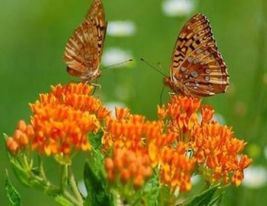 SHIPPED From US, BUTTERFLY WEED 25 FRESH SEEDS MILKWEED ASCLEPIAS TUBERO... - $16.99