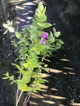 Live Plant Polygala myrtifolia Sweet pea Huge Seedling Purple Flower Gar... - $39.00