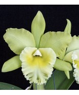 CATTLEYA  Blc. Prada Green Deluxe Orchid Plant Pot BLOOMING SIZE 0504 V - $34.20