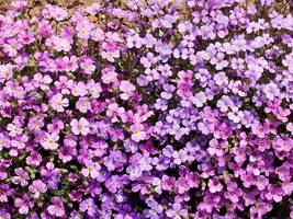 SHIPPED FROM US 17,000 Purple Rockcress Seeds (Aubrieta deltoidea), ZG09 - $47.16