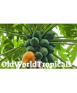 """LIVE Plant """"Red Lady Dwarf"""" Papaya Edible Tropical Ornamental - $14.80"""