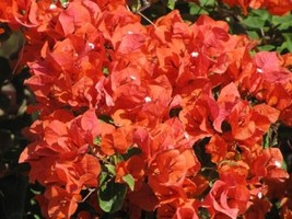 Flame Bougainvillea Live Plant For Garden #TkGrayGarden - $42.00