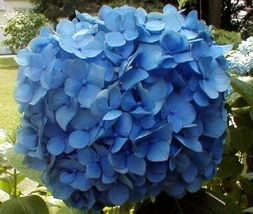 Ship From Us, 2 Blue Hydrangea Nikko 2 Ft Flowering Tree Shrub Live Plants P1 - $98.97
