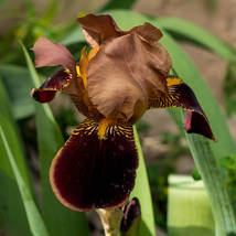 1 rhizome - Iris Junalaska Tall Bearded Party Time Freshly Dug - $11.99