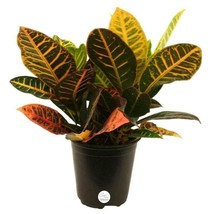 Croton Petra Live Indoor Plant Tropical Beauty Home Office Ornamental Fl... - €39,19 EUR