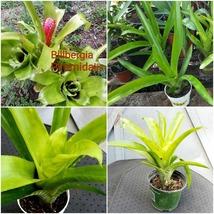 bromeliad billbergia piramidalis live plant Outdoor Living Houseplant - $61.99