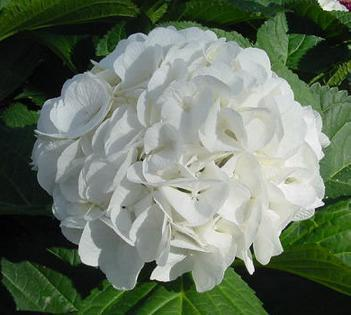 Primary image for Starter Plant Hydrangea Macrophylla Princess Juliana