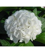 Starter Plant Hydrangea Macrophylla Princess Juliana - $12.95