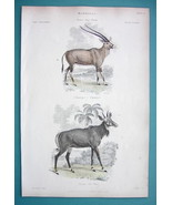 MAMMALS Mammalia Antelopes Oryx & Nyl Ghau  - 1860 COLOR  Antique Print - $12.60