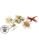 5 Pack of Premium Air Plant Variety Mix - Tillandsia, Abdita, Bulbosa, I... - $25.00