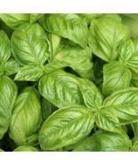 Basil Italian Large Leaf Quality Seeds Pack (100% Heirloom/Non-Hybrid/No... - $14.99+