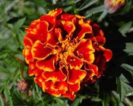 FRENCH MERIGOLD 1000+ SEEDS ORGANIC, BEAUTIFUL FLOWER IN ASSORTED COLORS - $10.99