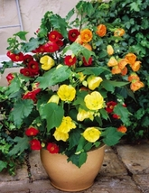 FLOWERING MAPLE (Abutilon Belvue Mix) AKA Parlor Maple~50 Seeds Perennial - $11.99
