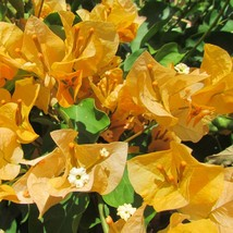 "3""Pot Gold Bougainvillea Live Plant Tree Garden Outdoor Bset Gift - $56.00"
