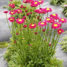 "1 Live Potted Plant chrysanthemum Radiant Deep Pink tanacetum Rare 2.5"" ... - $28.99"