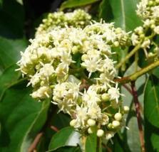 1 Packet of 60 Seeds Japanese Raisin - Rosales Rhamnaceae Plantae - $14.65