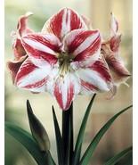 1 Bulb of Amaryllis CLOWN, Dutch Hippeastrum, Size 36 - $17.95