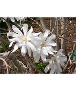 1 Plant Royal Star Magnolia Tree in a 1 Gallon Pot - $57.49