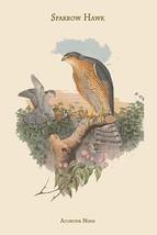 Accipitur Nisus - Sparrow Hawk by John Gould - Art Print - $19.99+