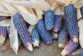 25 Shaman's Blue Popcorn Seeds Heirloom 2019 (Non-Gmo Heirloom Seed) - $3.96