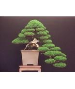 Italian Cypress - Pencil Pine - Cupressus sempervirens - Exotic Bonsai T... - $29.00