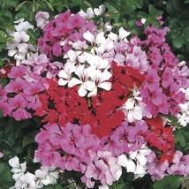 5 Seeds - Geranium Ivy Summer Showers Series Fuchsia - $12.95