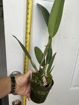 C. Hawaiian Wedding Song 'Virgin' CATTLEYA Orchid Plant Pot BLOOMING SIZE :: 22b image 5